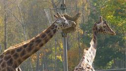 Rothschild's giraffe (Giraffa camelopardalis rothschildi) Footage