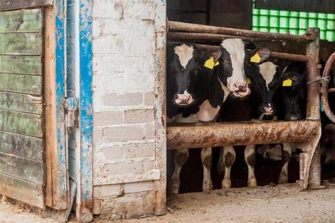 Farm for breeding cattle, the bulls are in the stall Fotografía