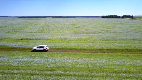 aerial white car drives between buckwheat fields Live Action