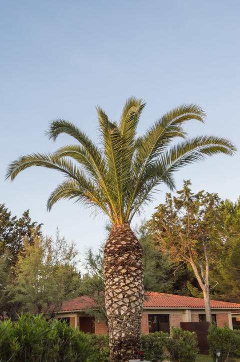 Two palm trees in a park in the city of Campofelice Photo