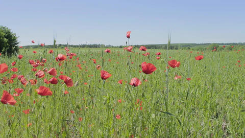The poppy field is far beyond the city Live Action