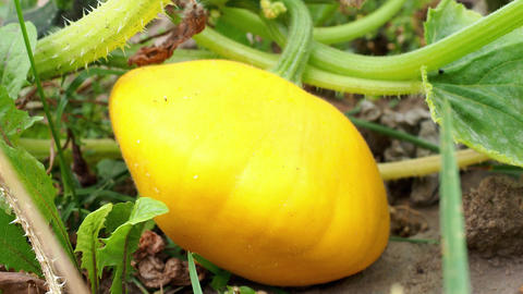 Pattypan squash bud on plant. Growing vegetables in the garden. (Cucurbita pepo) Live Action