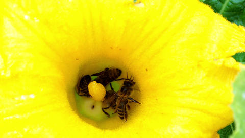 Flower of zucchini with bees. Pollination of flowers Footage
