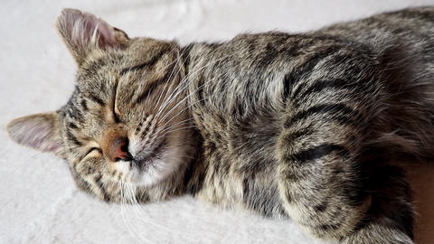 Sleeping cat on sofa. Tabby domestic cat Live Action