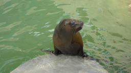 The South American sea lion female. Otaria flavescens Live Action