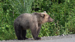 Hungry Kamchatka brown bear eats pie on road Footage