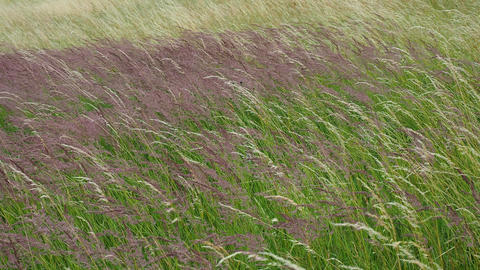Blooming grasses in a meadow. Wind on the grass Footage