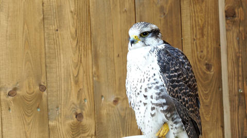 Saker Falcon (Falco cherrug) is a species of predatory birds Footage