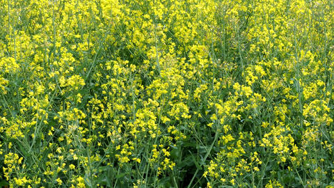Yellow flower of rape growing. Agricultural crop for oil production. 4k Archivo