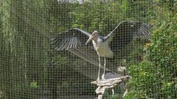 The marabou stork in captivity at zoo. Leptoptilos crumenifer Footage