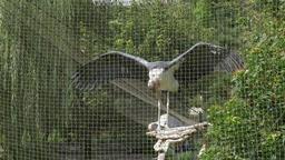 The marabou stork in captivity at zoo. Leptoptilos… Stock Video Footage