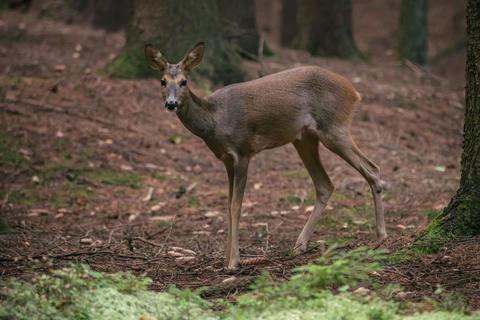 Roe deer in forest, Capreolus capreolus. Wild roe deer in nature Photo