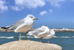 Lake Erie Seagulls Footage