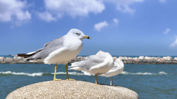 4K Lake Erie Seagulls Footage