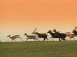 Stampede of Deer Footage