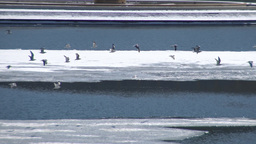 Flock Of Seagulls Over The Frozen Ohio River stock footage