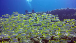 School of striped snapper yellow fish on background of clear seabed underwater Footage