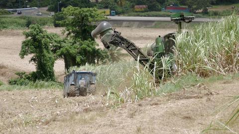 Sugarcane harvest Footage