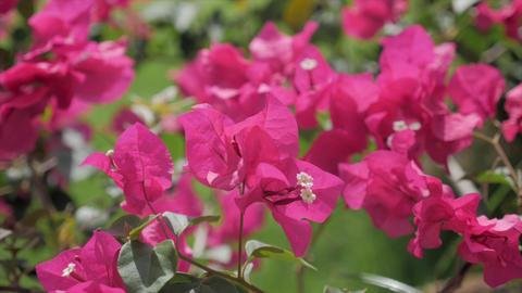 Tropical flower bougainvillea Archivo