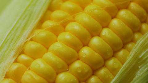 Water drop on Fresh ripe peeled sweet corn high vitamin food from nature GIF