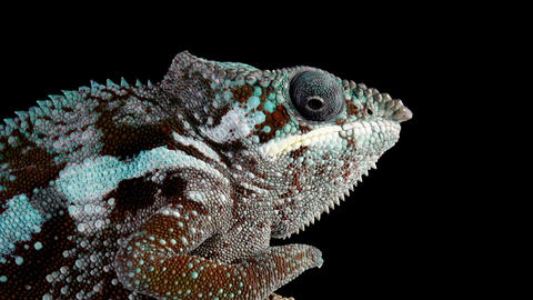 Panther Chameleon Looking Around Footage
