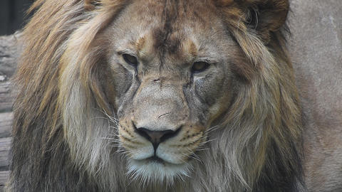 Extreme close up portrait of male lion Live Action