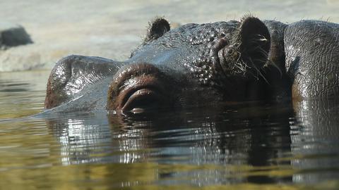 Close up one hippopotamus swim in water GIF