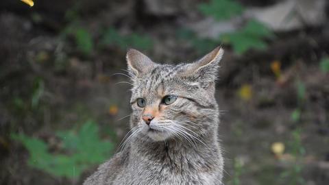 European wildcat portrait close up Live Action