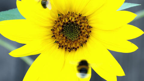 Bumble bee on sunflower. Pollination of flowers. Summer flowering plant 영상물