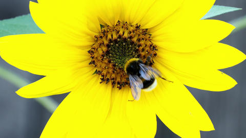 Bumble bee on sunflower. Pollination of flowers. Summer… Stock Video Footage
