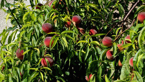 Peach tree with fruits growing in the garden. Peaches on the tree branches Footage