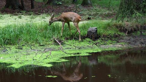 Roe deer in forest, Capreolus capreolus. Wild roe deer in... Stock Video Footage