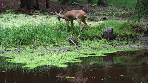 Roe deer in forest, Capreolus capreolus. Wild roe deer in nature Footage