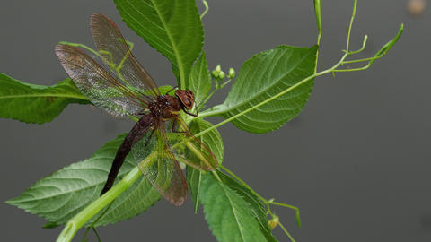 Brown dragonfly on a plant. Large dragonfly with transparent wings Live Action