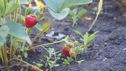 Fresh beautiful and delicious strawberries in garden Footage