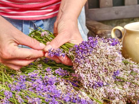 The young hands of gardener tie bundles with fresh lavender stalks Fotografía
