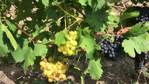White and dark vine grape bunches with ripe berries growing in vineyard 影片素材