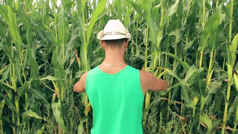 A man farmer sneaks through a corn field HD Footage