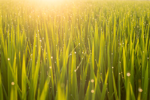 Close up green rice field with sunrise in the morning Photo