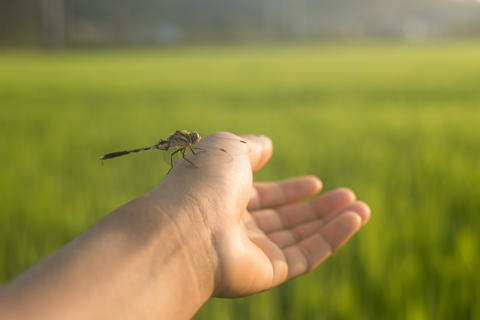 Dragonfly on a hand and the rice field is the background with li Fotografía