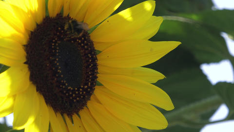 Sitting bumblebee on a blossoming sunflower Live Action