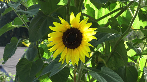 Closeup of a brilliant yellow sunflower hanging downward in the sunlight in a GIF