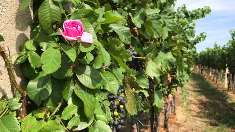 Rose in vineyard with vine trunks and ripe dark grape bunches Footage
