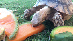 Tortoise Eating Cantaloupe Footage