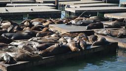 Sea Lions at Pier 39 in San Francisco Footage