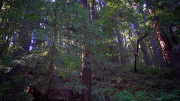 Walking Past Tall Redwoods of Northern California Footage