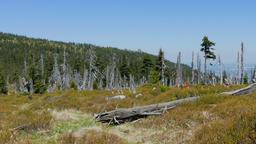 Tract of dead trees in Karkonosze/Krkonose mountains Archivo