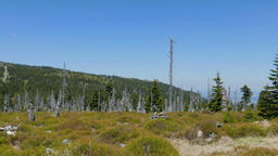 Tract of dead trees in Karkonosze/Krkonose mountains Live Action