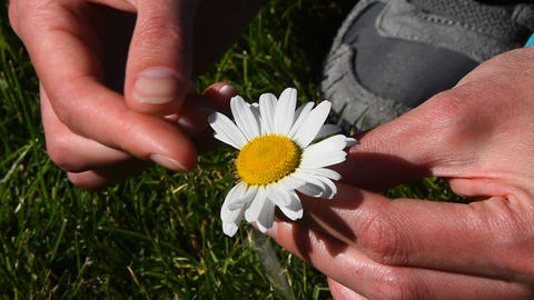 Woman hands rip out petals of chamomile flower GIF