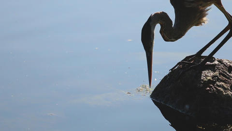 A blue heron tries to catch a meal in the water Footage